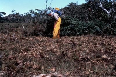 Midcamp Bog: pig damage; November1981; Carmel Crivellone (photoID:bhg002040)