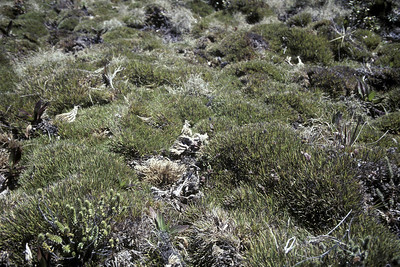 Greensword Meadow (UL [upper level?]), undamaged portion of Oreobolus furcatus at entrance to UL (upper level?); 20 March 1981; (photoID: bhg002024)