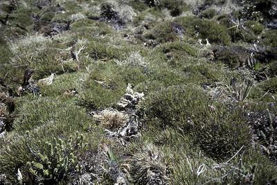 Greensword Meadow (UL [upper level?]), undamaged portion of Oreobolusfurcatus at entrance to UL (upper level?); 20March1981; (photoID:bhg002024)