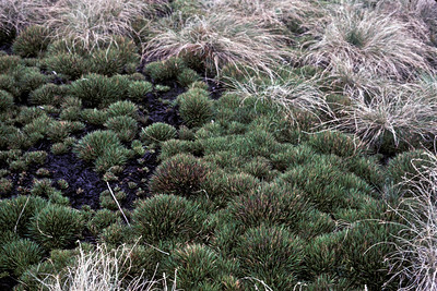 Greensword Bog, upper level(?), revegetation of Oreobolus furcatus, 1985; photo developed October 1985 (photoID: bhg002032)