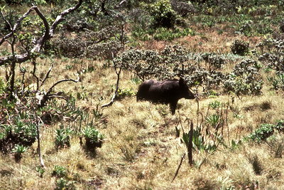 Pig at Midcamp Bog; June 1983 (photoID: bhg002045)