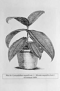 This line drawing of a seedling illustrates a likely mechanism of spread: by people.  Seeds may find their way into pots of other plants and be transported to a garden some distance from the origin.  This appears to be the case with the infestation on Maui.  (photoID: bhg000308)