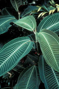 "Closeup of a seedling showing the juvenile, velvet-like leaves, from which the common name ""velvet plant"" is derived.  The leaves have prominent mid-ribs and side veins which give them a striped appearance.  (photoID: bhg000302)"