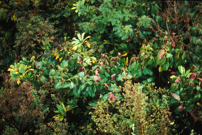 Individual miconia plants can be sprayed in the forest.  (photoID: bhg000330)