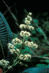 The flowers are relatively small and unspectactular; the plant's beauty is in its leaves.  (photoID: bhg000305)