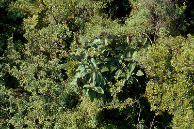 In Hana, miconia quickly made the jump into neighboring ohia forest.  (photoID: bhg000323)
