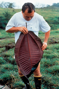 The underside of the leaves is truly the distinguishing hallmark of miconia: a bright purple to dark maroon.  Leaves can be quite large, as Ed Tamura of the Maui branch of the Hawaii Department of Agriculture demonstrates.  (photoID: bhg000303)