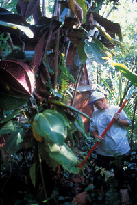 The alarm was sounded and the National Park Service, the Maui Group of the Sierra Club, and The Nature Conservancy began joint control of the Helani Gardens infestation.  National Park and Maui Division of Forestry & Wildlife personnel began surveying the Hana coast and located several large infestations.  (photoID: bhg000324)