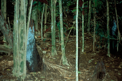 The garden's owner said he had gotten the plant from his uncle down the road at Helani Gardens in Hana, where this slide shows how everything may be excluded from growing underneath a miconia patch in Hawaii.  In a worst-case scenario, there could be no pig hunting or fern gathering in the lowlands, both a cultural and an ecological disaster in the making.  (photoID: bhg000321)