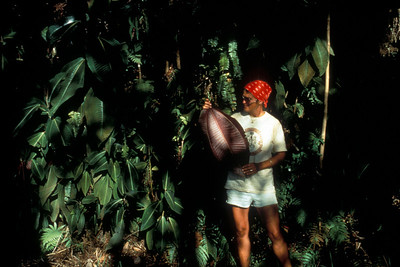The plant is a gardener's dream: it grows readily from full shade to full sun.  Here, Betsy Gagné is holding a large leaf and standing in the shade of several towering trees in Tahiti (1988).  (photoID: bhg000309)