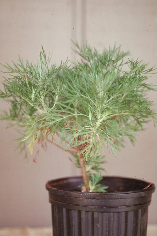 Artemisia mauiensis