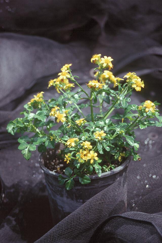 Bidens hillebrandiana subsp.  hillebrandiana