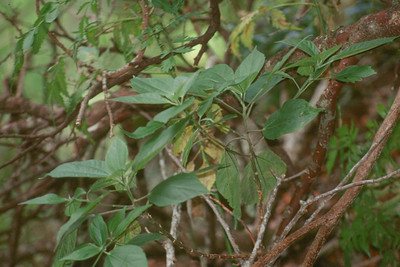Abutilon sandwicense
