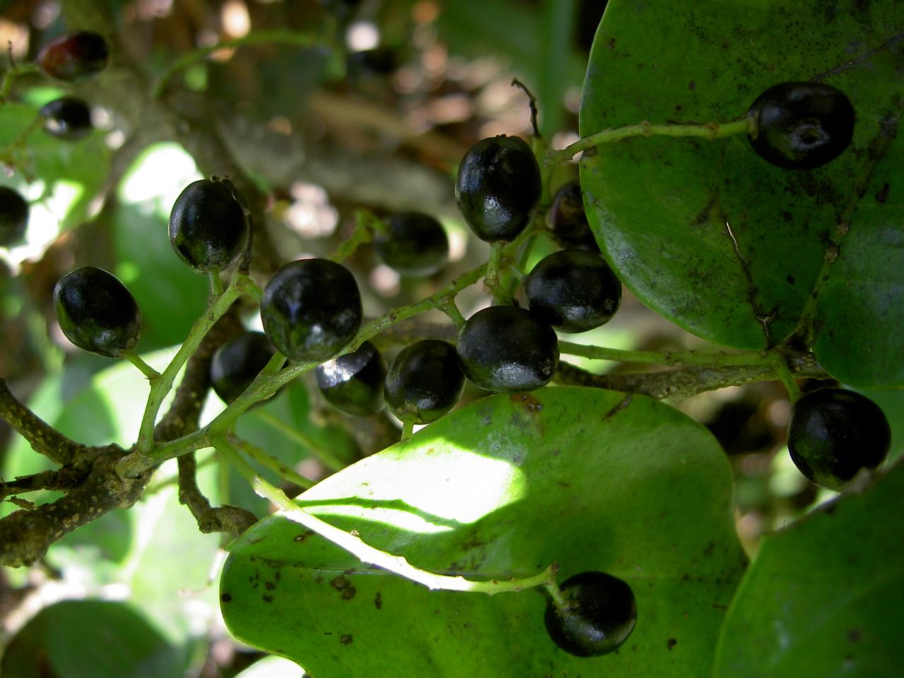 Antidesma platyphyllum platyphyllum 12
