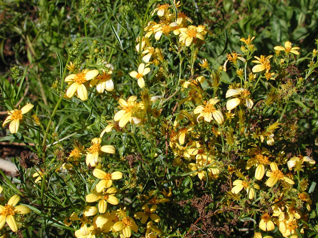 Bidens menziesii subsp. filiformis