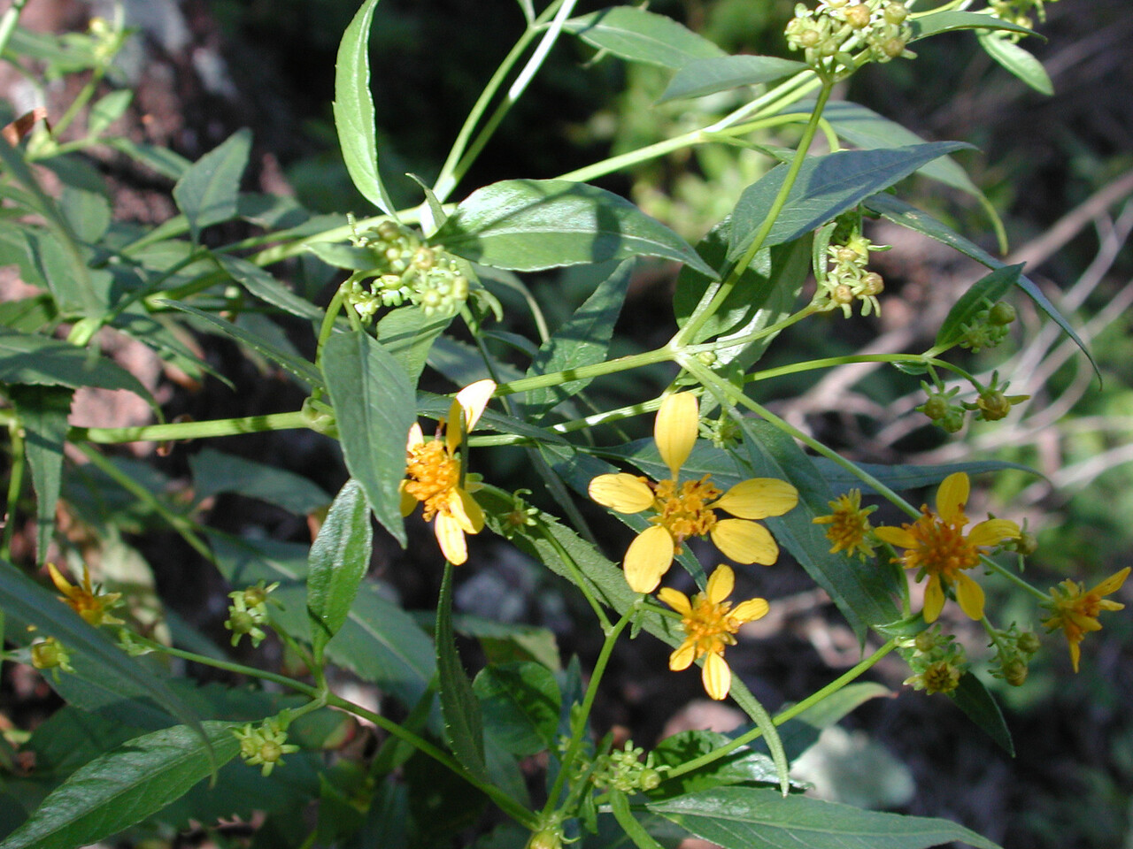 Bidens sandvicensis subsp. confusa