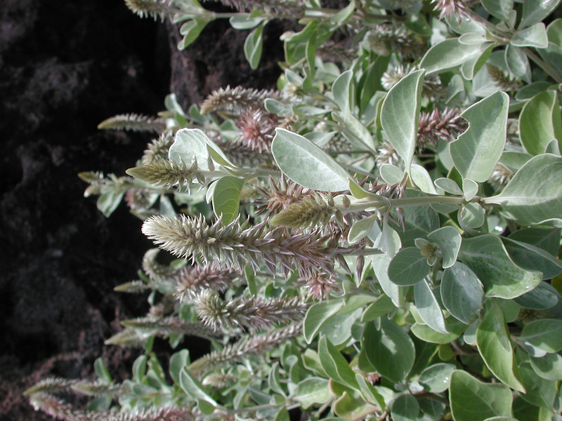 Achyranthes splendens subsp. rotundata
