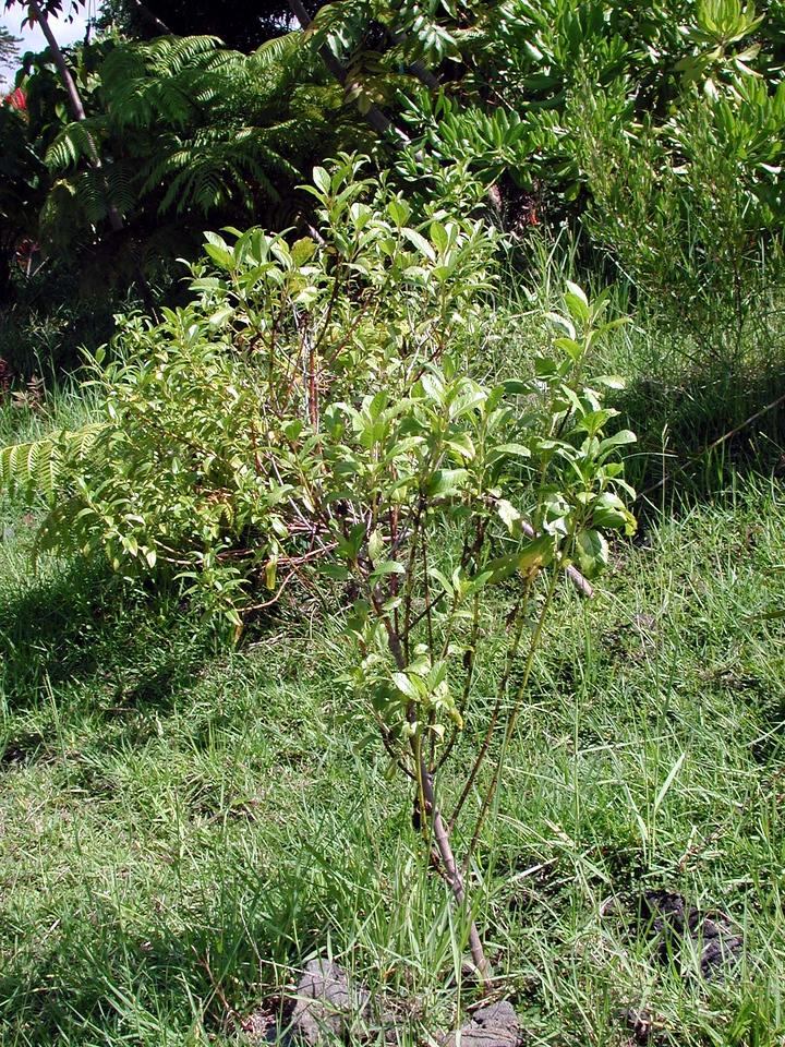 Bidens hawaiensis