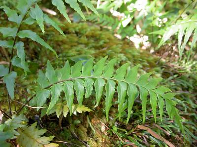 Asplenium contiguum subsp. contiguum