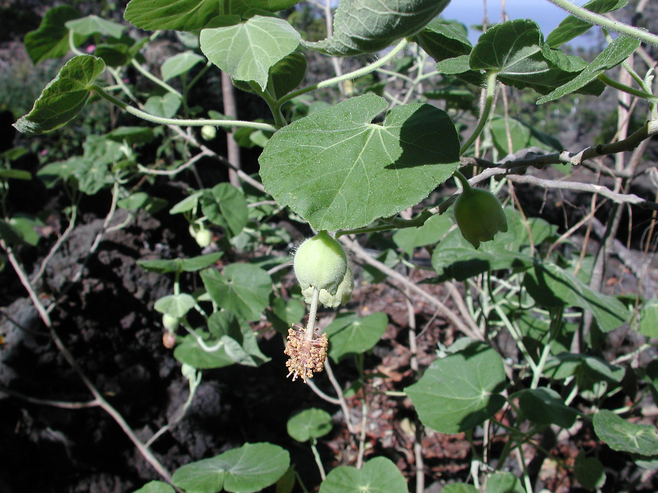 Abutilon eremitopetalum