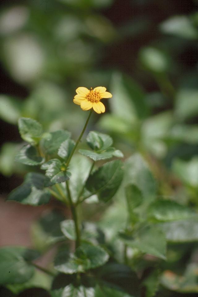 Bidens populifolia