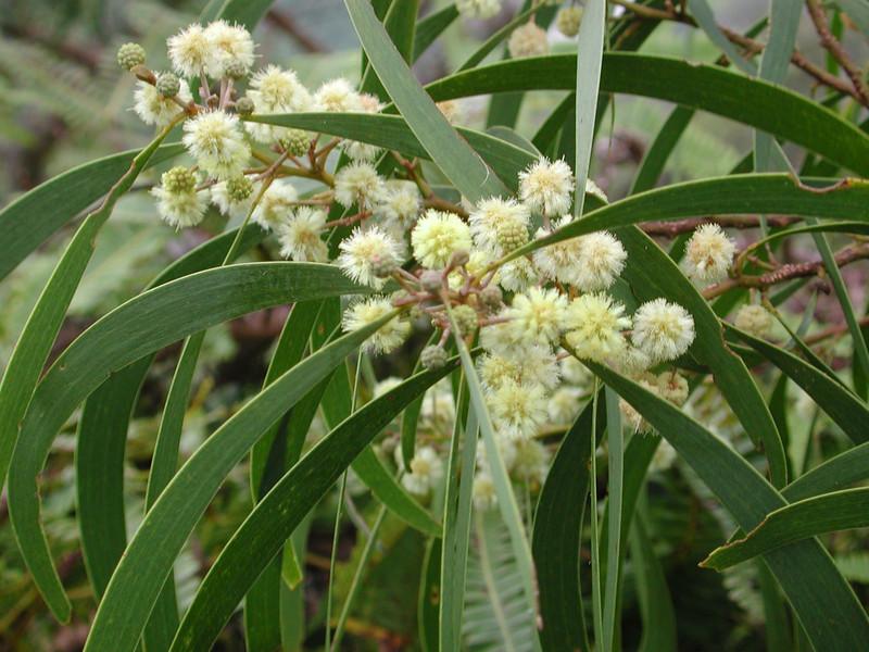 Acacia koa