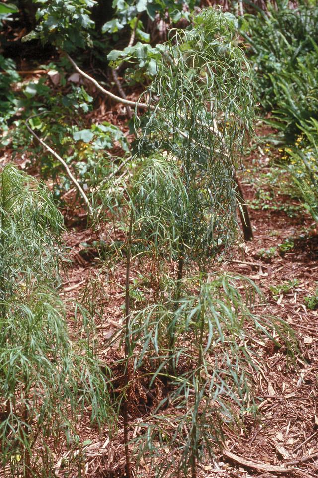 Bidens menziesii subsp. menziesii