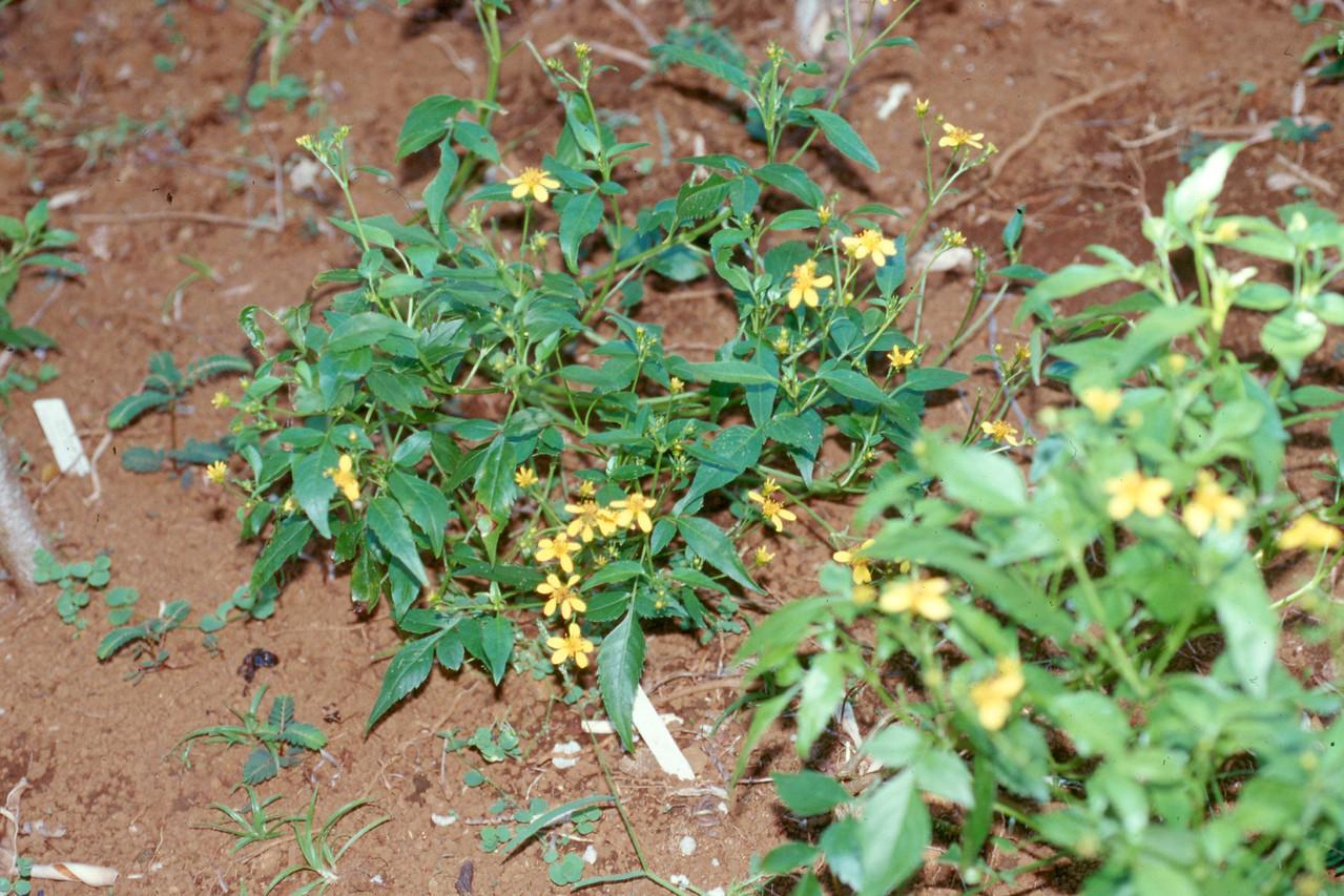 Bidens sandvicensis subsp. sandvicensis