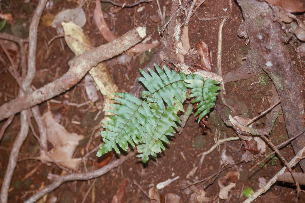 Asplenium macraei