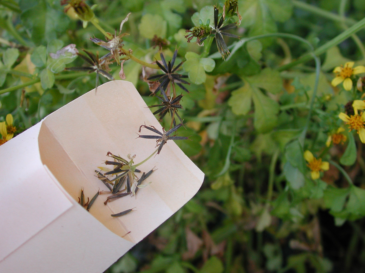 Bidens hillebrandiana subsp. polycephala