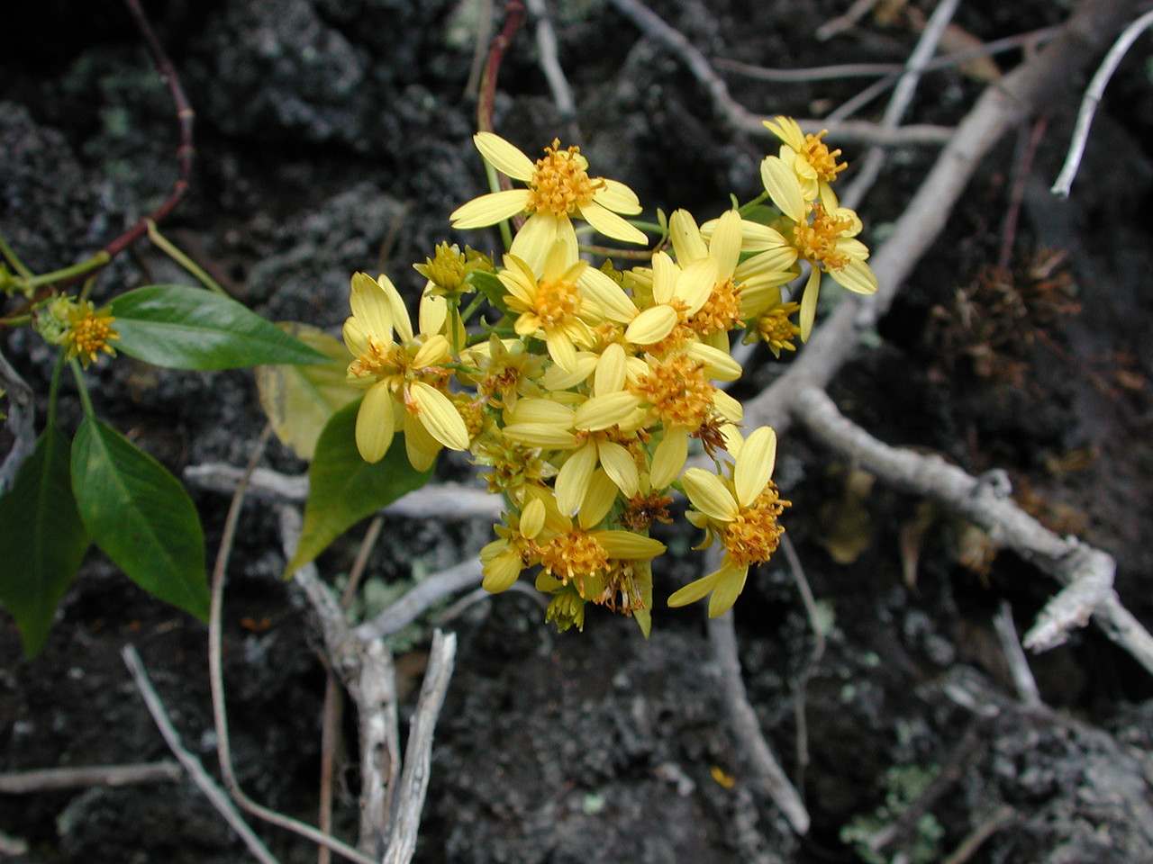 Bidens micrantha subsp. ctenophylla
