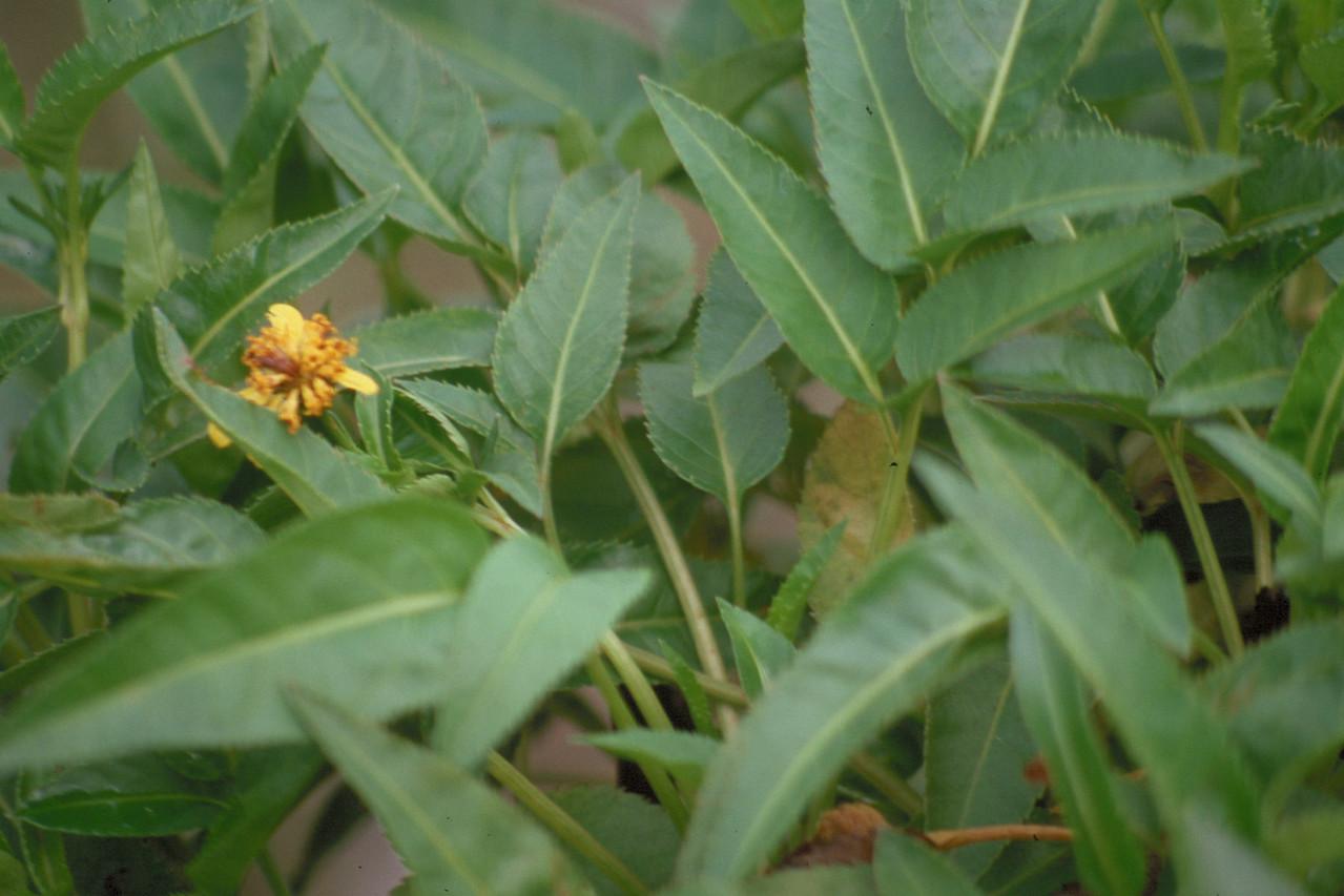 Bidens campylotheca subsp.  campylotheca