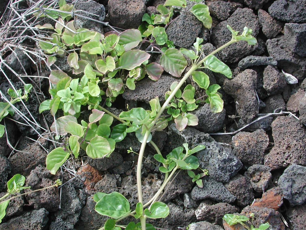 Boerhavia repens