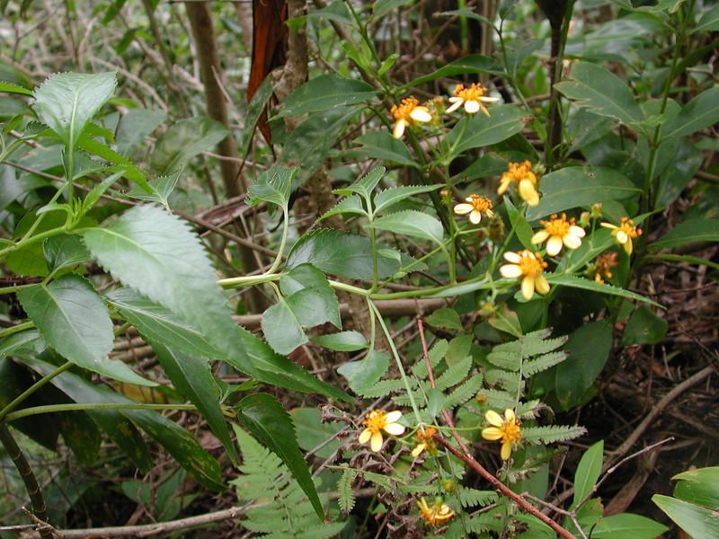 Bidens sandvicensis