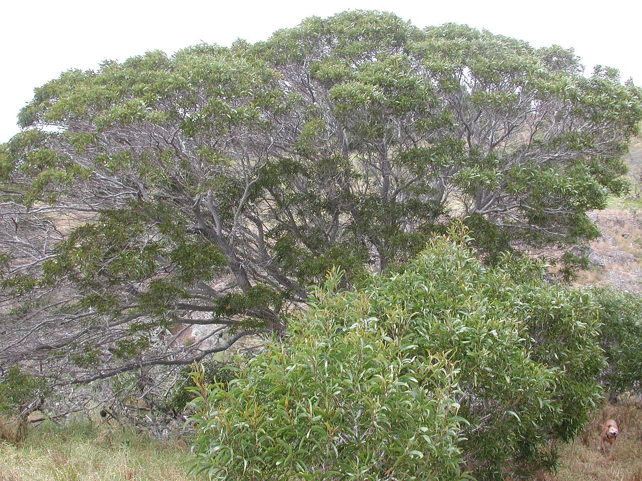 Acacia koaia
