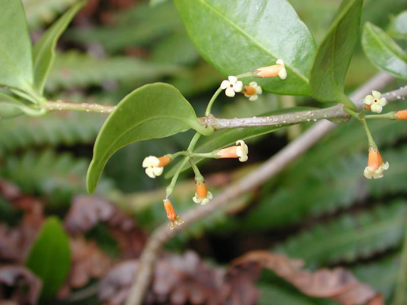 Alyxia oliviformis