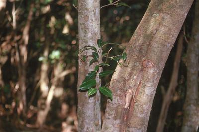 Alectryon macrococcus