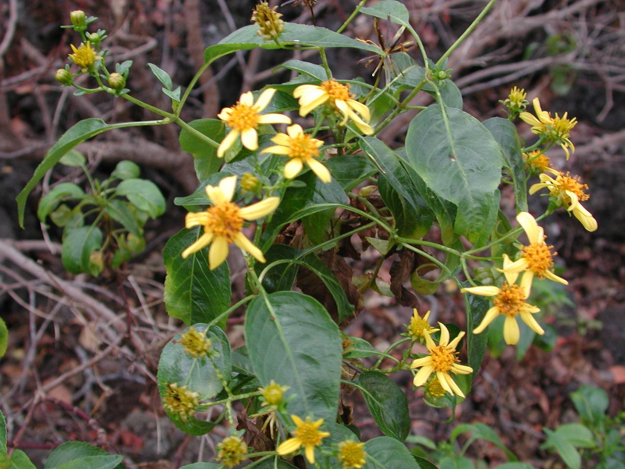 Bidens micrantha subsp. micrantha