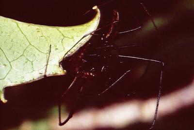 Araneae, West Maui
