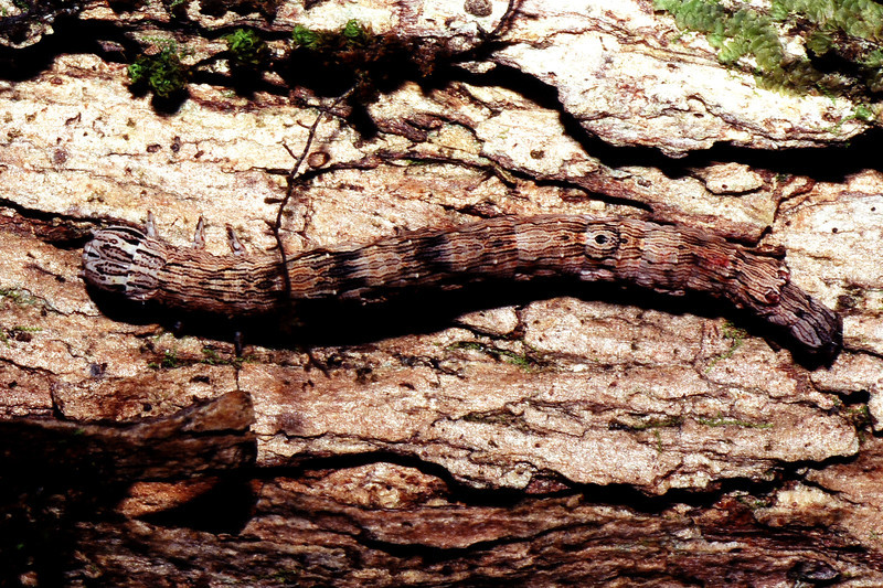 Lepidopteran on Metrosideros polymorpha, West Maui