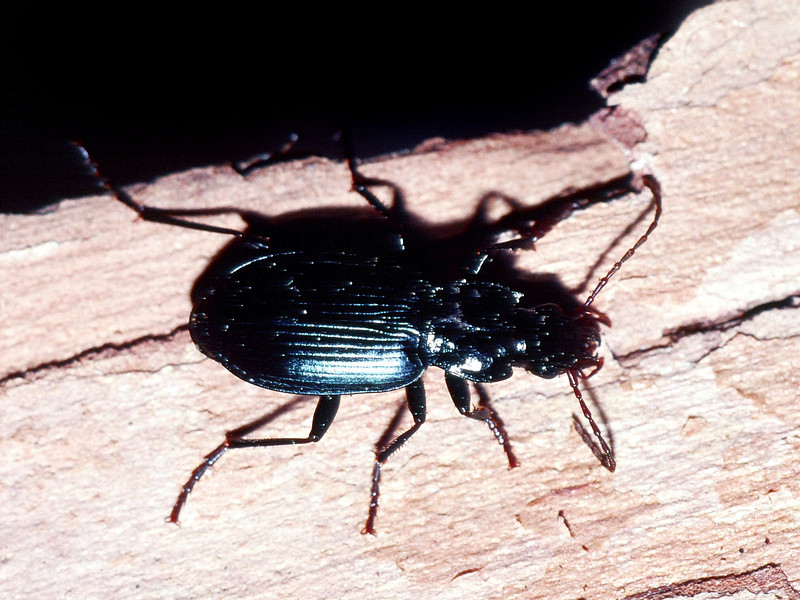 unidentified Coleoptera under Metrosideros polymorpha bark, Hakalau NWR, Hawaii