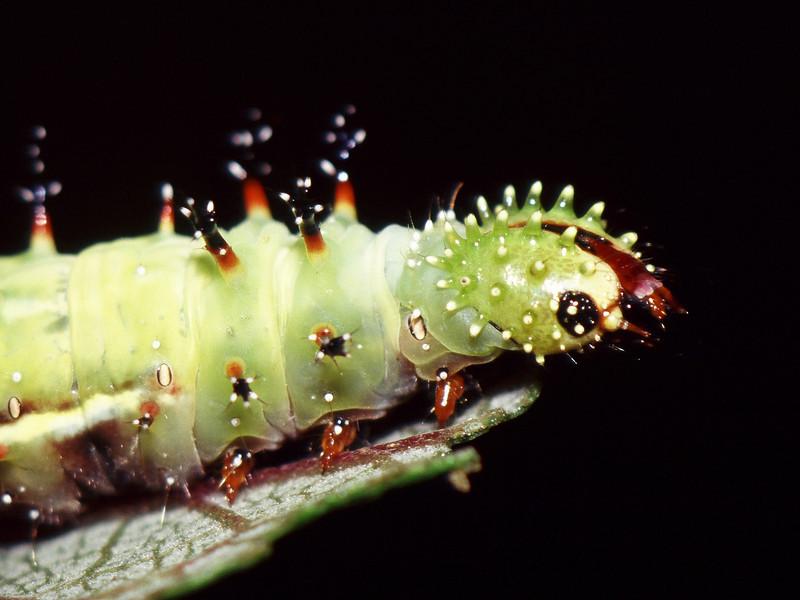 Vanessa tameamea (Nymphalidae) on Pipturus albidus, West Maui