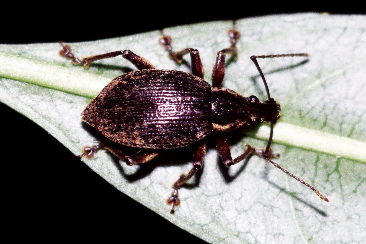 Rhynchogonus zeta (Coleoptera: Curculionidae), West Maui