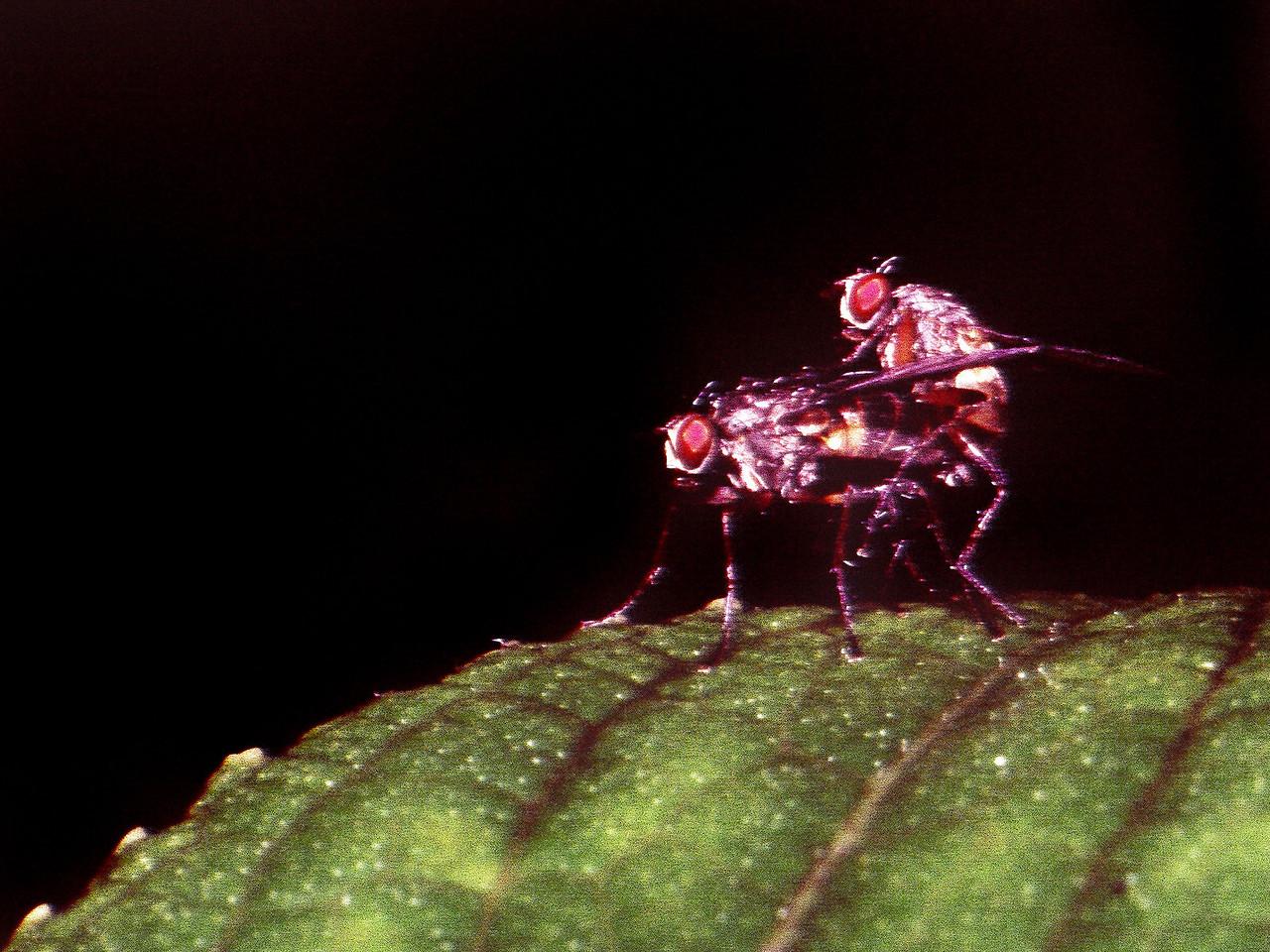 Lispocephala sp. (Diptera: Muscidae) on Broussaisia arguta, West Maui