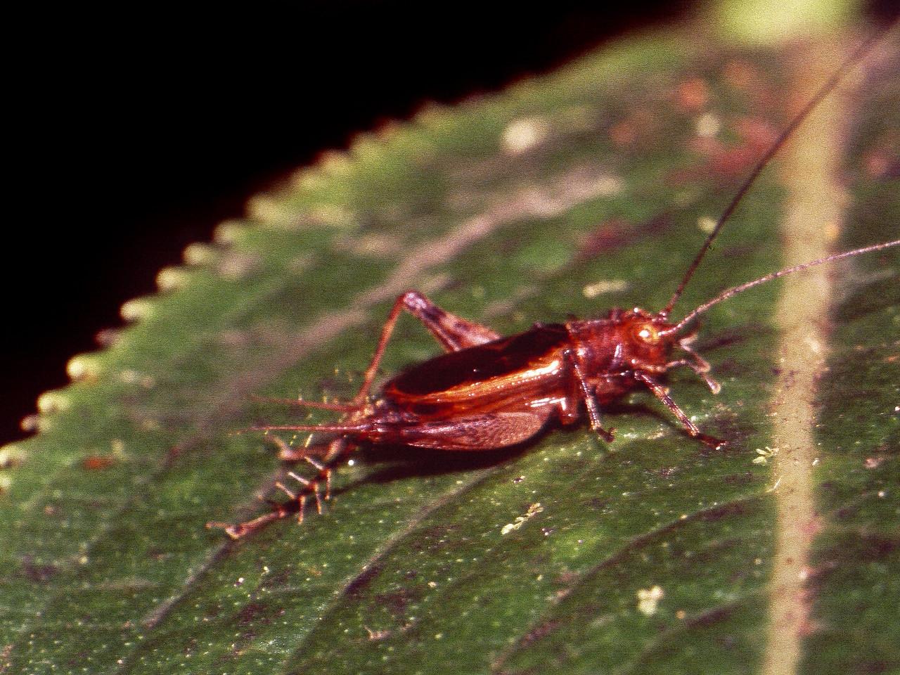 Laupala sp. (Gryllidae), West Maui