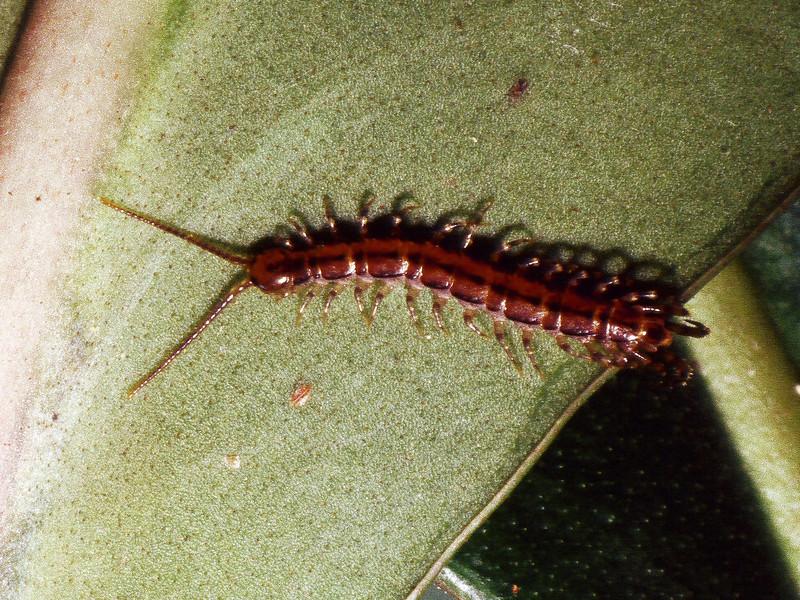 Chilopoda (Myriopoda), West Maui