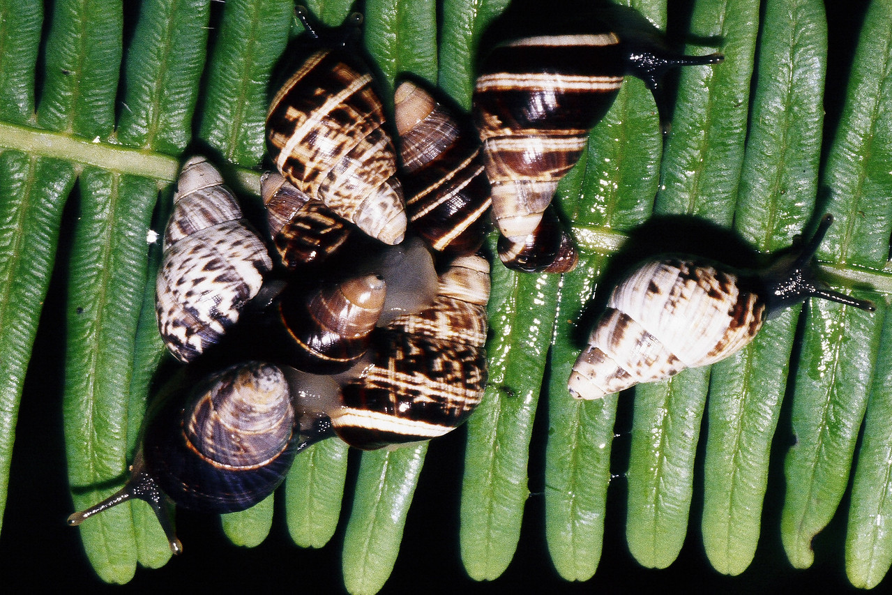 Partulina spp. (Achatinellidae), West Maui
