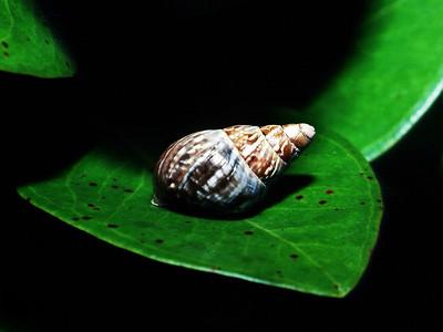 Partulina variabilis, Lanai