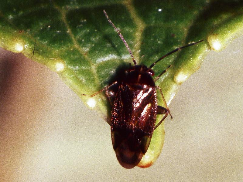 Sarona sp. (Miridae) on Broussasia arguta, West Maui