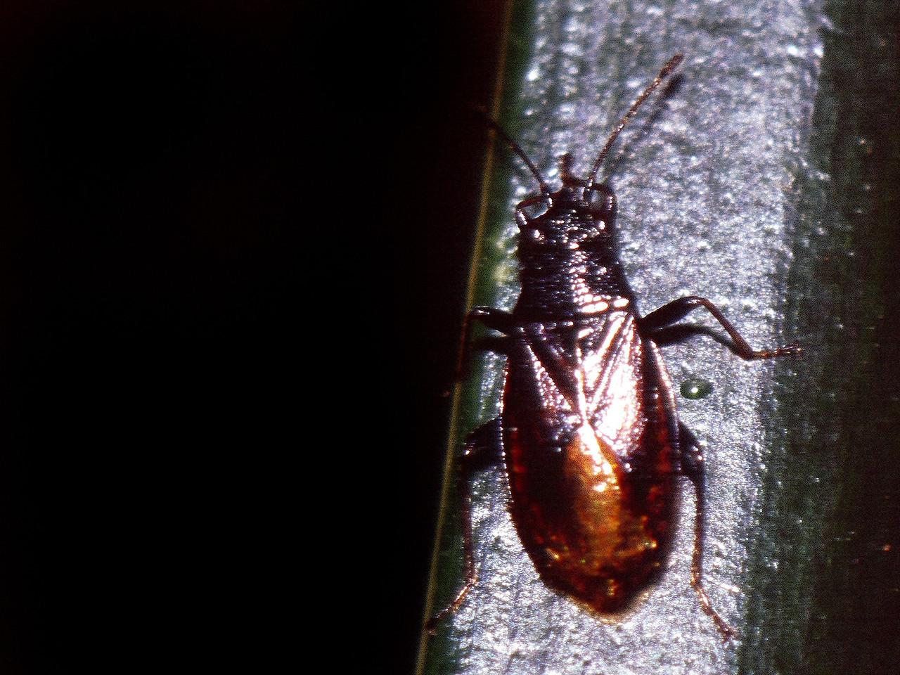 Heteroptera, West Maui